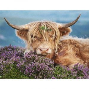 Highland Cattle in the Fields